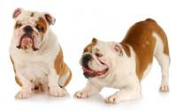 bulldog inglês braquicefálico