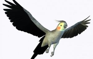 calopsita voando