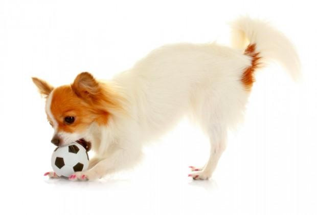 cão com bolinha