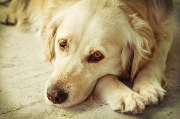 cão depressivo