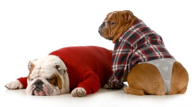 casal de bulldogs