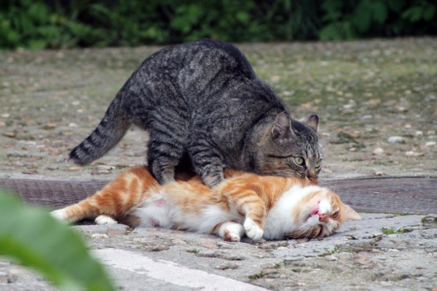 cruza de gatos
