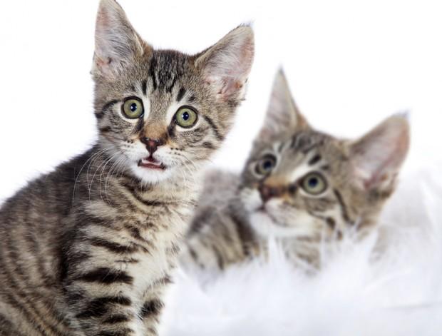 doencas transmitidas por gatos