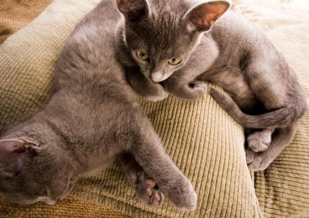 gatos acasalando