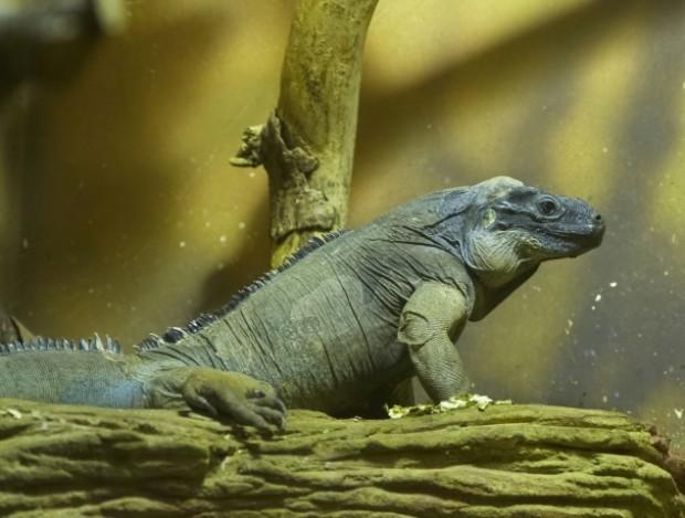 Iguana em cativeiro