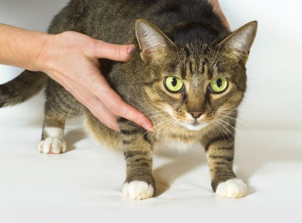 como limpar orelha de gato