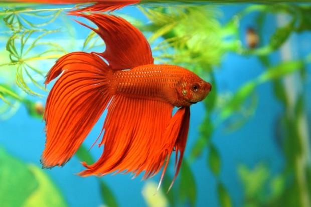 peixe betta vermelho
